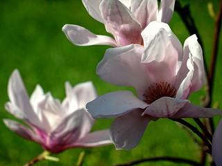 Nature /Spring -Magnolia