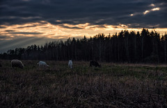 Grazing at sunset (free3yourmind) Tags: grazing sunset goat sheep goats field nature forest free clouds cloudy braslav braslaw belarus sunrays rays