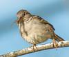 A Snack. (Omygodtom) Tags: wildlife sparrow bird bug nature nikon70300mmvrlens d7100 7dwf leica branch outside oaksbottom smugmug