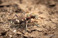 Bastaard zandloopkever (Erwin Hondebrink) Tags: 2018 natuur insect veluwe deelden zandloopkever