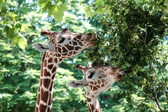 giraffe (wigerl - herwig ster) Tags: fujixf18135mm europa austria trees licht fujijpeg fressen light bäume tiergarten foto food baum tree fresse vienna zoo fuji fujixt1 giraffe schönbrunn europe österreich wien