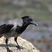 Hooded crow UB2A7599 (paulcoltman) Tags: hoodedcrow corvuscornix