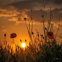 2018 Poppy sunset (jeho75) Tags: sony ilce 7m2 g harz sonnenuntergang sunset golden poppy mohn klatschmohn kornblume gegenlicht