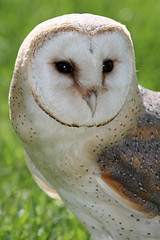 Barn Owl (Buggers1962) Tags: owl barnowl bird birdofprey barn prey tyto alba colchester colchestercastlepark highqualityanimals itsazoooutthere birdsofprey churchowl commonbarnowl deathowl delicateowl ghostowl goldenowl hissingowl hobgoblinowl monkeyfacedowl nightowl ratowl screechowl scritchowl silverowl strawowl whiteowl barnyardowl hobbyowl zoo canon canon7d caveowl close closeup demonowl dobbyowl crocodile face portrait whitebreastedowl stoneowl animal nature wildlife owlpicture the wonderful world birds black background surreal eye people