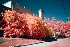 Flowering (00595800) Tags: infrared ir 500nm kolarivision kolari filter sony alpha 5n 20mm aerochrome faux