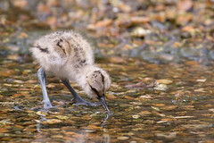 Avocet Chick (ToriAndrewsPhotography) Tags: baby avocet chick fluffy photography andrews tori