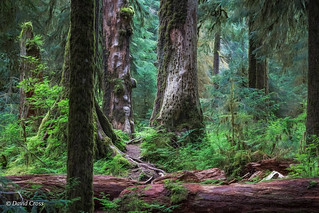 Thinking of the Hoh Rain Forest