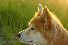 Krummi Angel (joditiger06) Tags: glory dog krummi icelandic backlit pet