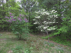 Lilac and Flowering Dogwood Trees Blooming At The Same Time (amyboemig) Tags: may spring garden flower flowers flowering dogwood lilac forgetmenot
