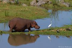Follow the leader (leendert3) Tags: leonmolenaar southafrica krugernationalpark wildlife nature mammals hippopotamus ngc npc coth5