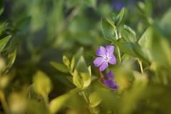 Purple flower (picturesfrommars) Tags: purple flower a7ii ilce7m2 fe 85mm f18 sel85f18 nature