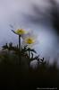 Anémonne alpine (Manonlemagnion) Tags: anémonepulsatille alpine blanche sauvage fleur plante nature macro bokeh montagne vosges nikond7000 105mm28