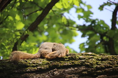 Squirrels in Ann Arbor at the University of Michigan (May 22nd, 2018) (cseeman) Tags: gobluesquirrels squirrels annarbor michigan animal campus universityofmichigan umsquirrels05222018 spring eating peanut mayumsquirrel oak buroak buroaktree rossschoolofbusiness oaktree cavitynest treecavitynest juveniles juvenilesquirrels