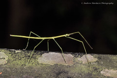 Stick Insect (57Andrew) Tags: earlymorning hongkong harlechroad thepeak phasmidae stickinsect