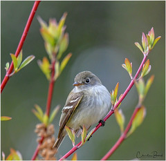 Least Flycatcher (Summerside90) Tags: birds birdwatcher leastflycatcher may spring migration nature wildlife longpoint ontario canada