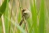 REED WARBLER (_jypictures) Tags: animalphotography animals animal canon7d canon canonphotography wildlife wildlifephotography wiltshire nature naturephotography photography pictures birdphotography bird birds birdwatching birding birdingphotography birders reedwarbler ukwildlife ukbirding ukbirds
