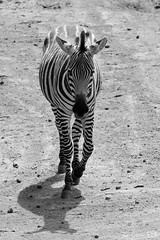 DN9A1293 (Josette Veltman) Tags: beeksebergen hilvarenbeek safaripark masterclass wildlife captivity animals zoo dierentuin nederland 70200mm canon fotofair fotofair2018