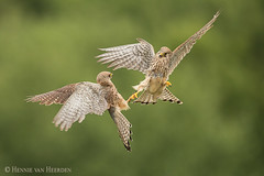 Indecent proposal (hvhe1) Tags: nature wildlife animal bird birdofprey kestrel falcotinnunculus falcon fight fauconcrécerelle turmfalke torenvalk intruder green domesticviolence hvhe1 hennievanheerden wild flight bravo