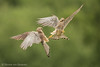 Indecent proposal (hvhe1) Tags: nature wildlife animal bird birdofprey kestrel falcotinnunculus falcon fight fauconcrécerelle turmfalke torenvalk intruder green domesticviolence hvhe1 hennievanheerden wild flight