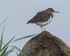 Spotted Sandpiper (jimbobphoto) Tags: bird sandpiper rock nature statepark wadder shorebird lake