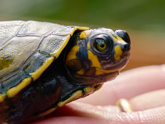 Baby Turtle (szeke) Tags: turtle baby colombia animal