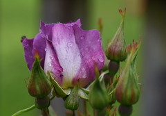 DSC_0025 (PeaTJay) Tags: nikond750 sigma reading lowerearley berkshire macro micro closeups gardens outdoors nature flora fauna plants flowers bouquet rose roses rosebuds