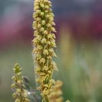Aceras antropophorum. thumbnail