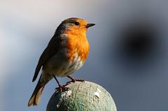 Robin. (Chris Kilpatrick) Tags: chris canon canon7dmk2 outdoor wildlife nature bird animal robin red springwatch garden douglas isleofman may sigma150mm600mm