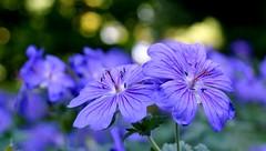 (farmspeedracer) Tags: nature flower purple blue bokeh park garden 2018 mai mayo may