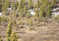 Denali National Park Grizzly Bear (milepost430media.com) Tags: denali alaska nationalpark outdoors environment background nature beautiful cold snow summer season unitedstates dslr canon 5d markiv travel tourism holiday vacation natural spring bear grizzly big animal brown fur