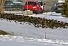 Easter egg hunt (mpalmer934) Tags: spring easter egg hunt starling birds tree grass fence vehicles eggs