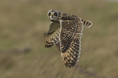 Short-eared owl - I only have eyes for you (Ann and Chris) Tags: shortearedowl owl bird raptor beautiful wildlife wild wings nature avian flying canon7dmarkii gloucestershire