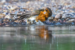 Sometimes you have to wash and go (Paul Wrights Reserved) Tags: robin bath bathtime bird birdphotography birdwatching action actionphotography reflection reflections wings water wet waterbird droplets drop waterdrops motion movement moving nature wildlife wildlifephotography naturephotography