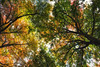 under the canopy (Bec .) Tags: bec canon 80d 18135mm adelaide southaustralia mtlofty adelaidehills trees leaves canopy autumn underthecanopy mourning
