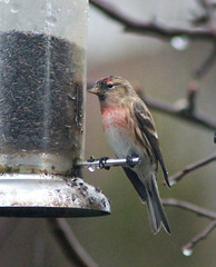 Redpoll (the.haggishunter) Tags: wild wildlife nature redpoll bird seed feeder staffordshiremoorlands