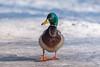 Just mallard (Jevgenijs Slihto) Tags: bird mallard anasplatyrhynchos duck wildduck winter snow ice cold d5600 sigma150600 day daylight nature wildlife