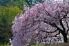 2018-03-japan-DM3_9126 (CatapultCowboy) Tags: aichimuseumofflight alchohol bamboo birds cemetery cherryblossoms chickenwings cityscape clouds cormorant crows deer ducks eel flowers food fuji garden inyuyama japan mountfuji nagoya nagoyacastle noritake pigeon sakura shinto shrine soupcurry tokyo toyotamuseum udon wedding