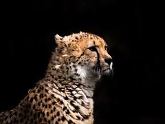 Royal Cheetah (sedi343) Tags: 400mm g85 panasonic lumix closeup animal leica mft