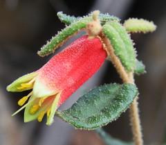 Correa reflexa . Native Fuchsia (Uhlenhorst) Tags: 2010 australia australien pflanzen plants flowers blumen blüten travel reisen blossoms