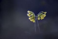 Les ailes de l'ange (Elias macro proxy photographies) Tags: jaune lumière nature coucou canon6d canon70200f4 primevère élevée yellow green vert soleil contrejour couché rivière bois