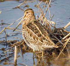 Wilsons Snipe (tresed47) Tags: 2018 201804apr 20180412bombayhookbirds april birds bombayhook canon7d content delaware folder peterscamera petersphotos places season shorebirds snipe spring takenby us ngc