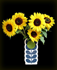 2018 Sydney: Vase full of Sun (dominotic) Tags: 2018 sunflower plant flower nature floret yellow vasefullofsun helianthusannuus green circle blackbackground sydney australia