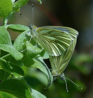 Pieris napi (Green-veined white)
