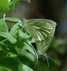 Pieris napi (Green-veined white) (TPittaway) Tags: pierisnapi greenveinedwhite cholsey oxfordshire england pieridae lepidoptera butterflies tonypittaway 2018 uk