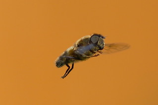 Hoverfly in Fareham