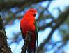Eastern King Parrot (tregotha1) Tags: everglades leura