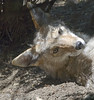 Akron Zoo 06-06-2014 - Coyote 26 (David441491) Tags: coyote canine akronzoo