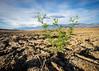 A New Crop of Weeds (dwblakey) Tags: ladwp low owensvalley dirt outside plants easternsierra bishop flowers sky brassicaceae lowpov evening weeds california
