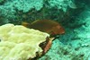 arc-eye hawkfish - dark phase (BarryFackler) Tags: hawkfish paracirrhitesarcatus pilikoa arceyehawkfish fish benthic reeffish parcatus vertebrate barryfackler barronfackler bigisland biology bay being bigislanddiving nature marine marinelife marinebiology marineecosystem marineecology hawaii hawaiiisland hawaiicounty honaunau honaunaubay hawaiidiving hawaiianislands scuba sea southkona seacreature sealife sandwichislands seawater saltwater diving ddiver dive undersea underwater kona konacoast konadiving polynesia pacificocean pacific 2018 organism ocean outdoor tropical reef ecology ecosystem water westhawaii aquatic animal fauna life zoology coral creature coralreef
