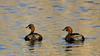 Little grebes (Westhay Moor) (Steve Balcombe) Tags: bird little grebe dabchick tachybaptus ruficollis westhay moor nnr somerset levels uk